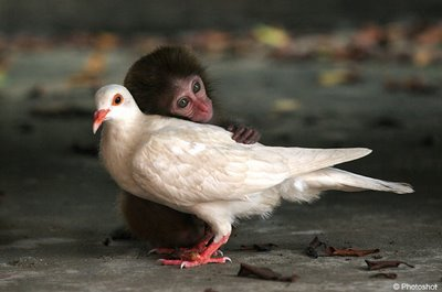Pigeon and Small Chimpanzee Photo