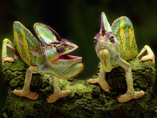 Animation Chameleons Photoshop Photo