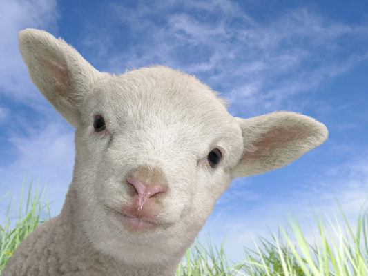 Animation Sheep Photoshop Photo
