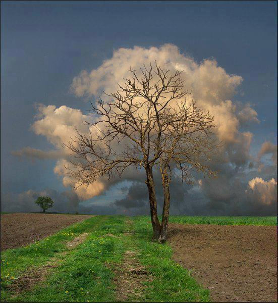 Cloud leaved tree